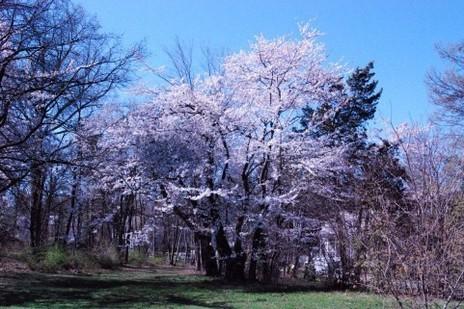saya桜2