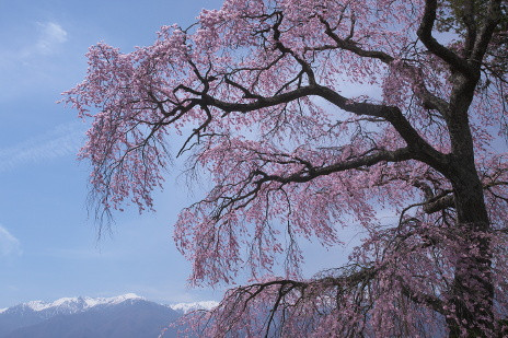 saya桜1