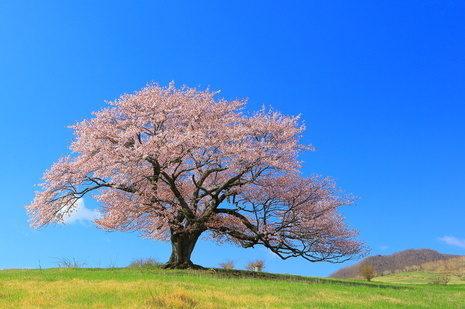 日本人のDNAに刻まれる桜を愛する心